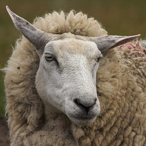 sheep-17110