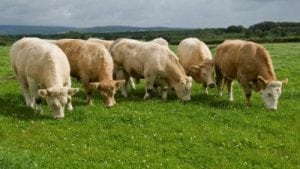 Irish cattle
